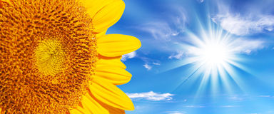 Panoramic close up of a sunflower, sunshine background Royalty Free Stock Images