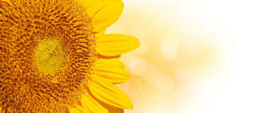 Panoramic close up of a sunflower, Royalty Free Stock Photography