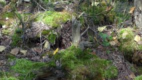 Panoramic closeup view of old moss and stumps in the forest. Summer sunny day. Lot of broken branches, fallen leaves and green plants stock footage