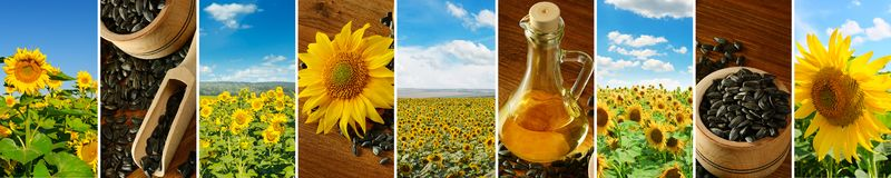 Panoramic collage. Fields of blooming sunflower and blue sky. Sunflower seeds and oil on a wooden table. Wide photo. With free space for text stock photography