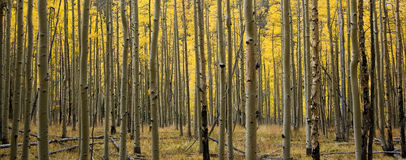 Panoramic Colorado Aspen Forest in Fall Stock Photos