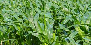 Panoramic Cornfield Background Royalty Free Stock Images