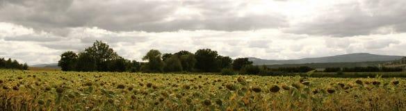 Panoramic countryside scene. Flowery field in panoramic countryside landscape Royalty Free Stock Photo