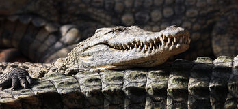 Panoramic crocodile Stock Photo