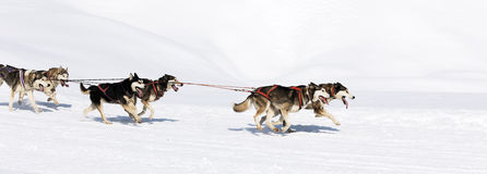 Panoramic dog race Royalty Free Stock Images