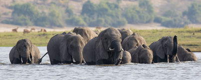 Panoramic elephant crossing in south Africa Stock Photos