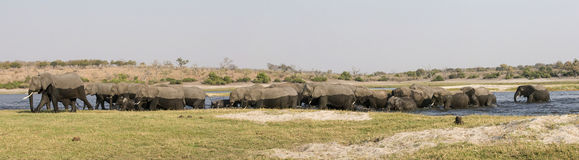 Panoramic of entire elephant herd crossing river stock image