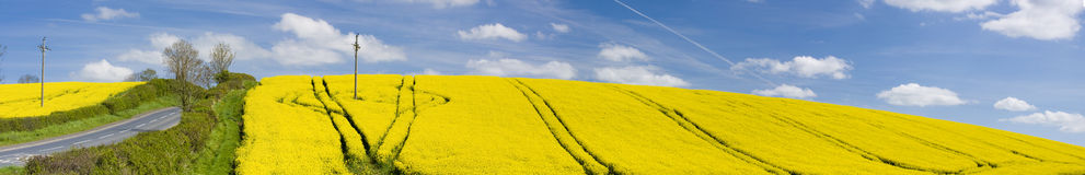 The panoramic field. Panorama of a yellow field with deep blue sky and white clouds Royalty Free Stock Images