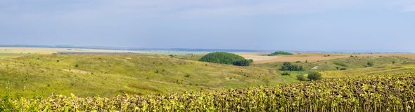 Panoramic fields of sunflowers Royalty Free Stock Photography