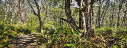 Panoramic Forest Nature trail. A beautiful forest trail just off the coast of Victoria Royalty Free Stock Photography
