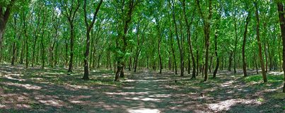 Panoramic Forest Royalty Free Stock Photos