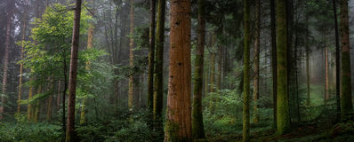 panoramic in the forest with a trunk in the foreground Stock Image