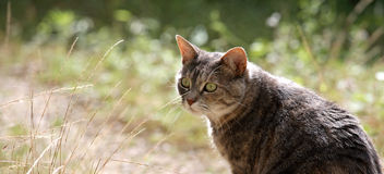 Panoramic garden cat Stock Photography