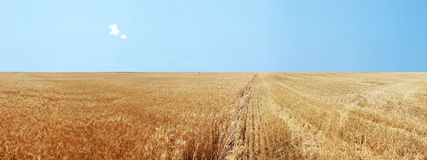 Panoramic Golden Wheat Fields Royalty Free Stock Image