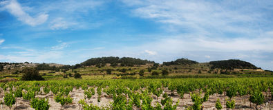 Panoramic grapevines  landscape Royalty Free Stock Image