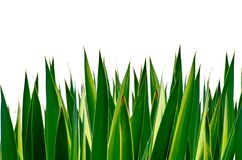 Panoramic Green leaves isolated Royalty Free Stock Image