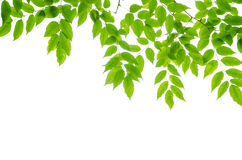 Panoramic Green leaves on white background Stock Photography