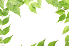 Panoramic Green leaves Stock Image
