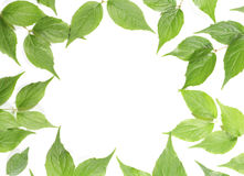 Panoramic Green leaves Stock Images