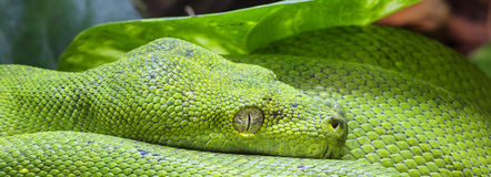 Panoramic green python Royalty Free Stock Images