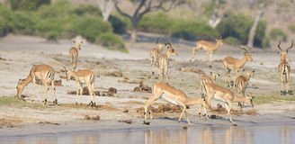 Panoramic of herd of gazelles at river Royalty Free Stock Image