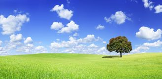Panoramic idyllic view, lonely tree on green field. Idyllic panoramic landscape, lonely tree among green fields, in the background blue sky and white clouds royalty free stock images