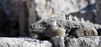 Panoramic iguana Stock Image