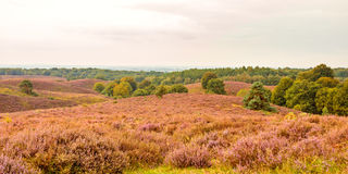 Panoramic image of blooming heathland at the Veluwe Royalty Free Stock Images