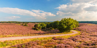 Panoramic image of blooming heathland at the Veluwe Royalty Free Stock Photos