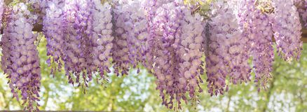 blooming wisteria royalty free stock photos
