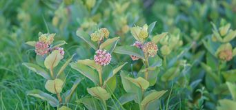 Common milkweed panoramic. Panoramic image of common milkweed alongside a country gravel road in Junction City, Kansas royalty free stock images