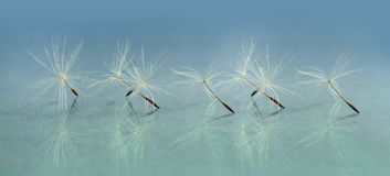 Panoramic image of a dandelion seed Stock Image