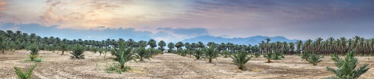 Sunrise above plantation of date palms near Eilat, Israel. Panoramic image depicts advanced tropical agriculture in the Middle East Stock Photos