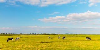 Panoramic image of Dutch cows Stock Photos