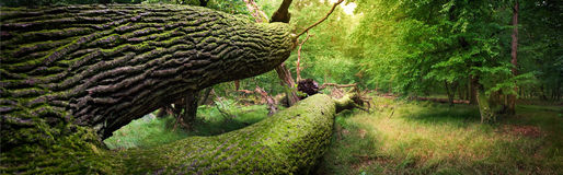Panoramic image of fallen tree in the forest Royalty Free Stock Photo