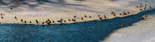 Flock of ducks on the ice of frozen river. Panoramic image with flock of ducks on the ice of frozen river Stock Image