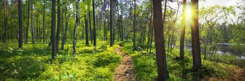 Panoramic image of the forest Stock Photography