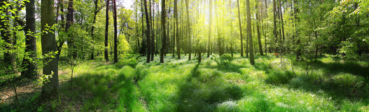 Panoramic image of the forest Stock Images