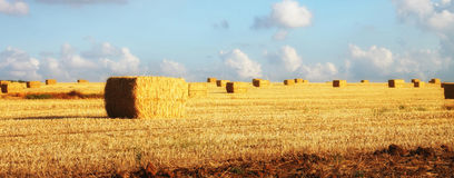 Panoramic image of gold wheat haystacks field at sunset light Stock Image