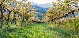 Italian vineyard in the sun. Trentino, Italy. Panoramic image of Italian vineyard in the sun. Garda Lake wine. Italy royalty free stock photo