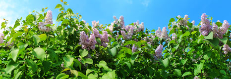 Panoramic image of lilac flowers Stock Photo