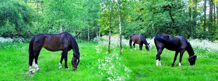 Panoramic image of meadows with grazing horses. Panoramic image of flowering meadows with grazing horses Stock Photo
