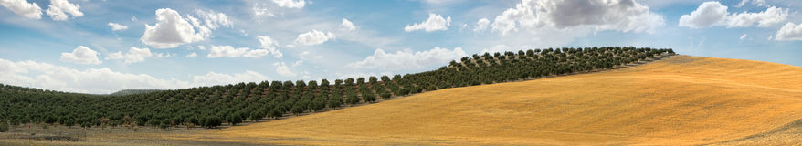 Panoramic image of olive plantation Royalty Free Stock Images