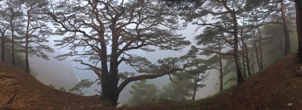 Panoramic image of the pine trees in the dense fog. Stock Photos