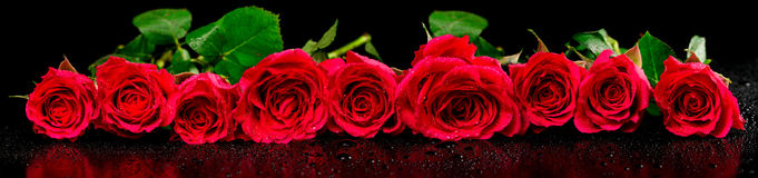 Panoramic image of red roses with dew drops Stock Photos