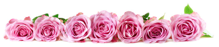 Panoramic image of roses Stock Images
