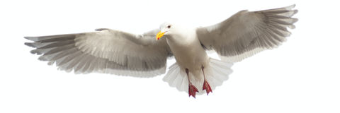Panoramic image of a seagull in flight, isloated Stock Images