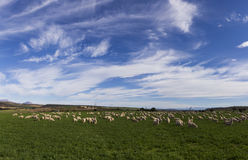 Panoramic image sheep goats field sky Royalty Free Stock Photos