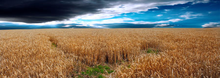Panoramic image of a wheat field . Stock Photo