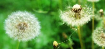 Panoramic image of white fluffy dandelion on a green background Stock Photography
